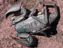 Large pincers and a thick tail indicate taht these scorpions are only weakly venomous.