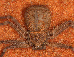 Research On Rabbits Indicate That These Spiders Are Highly Venomous