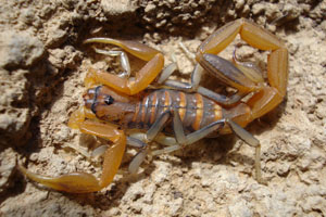 Southern African is home to an amazing diversity of scorpions.