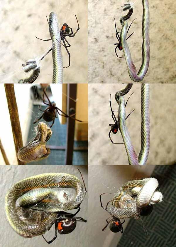 Spider Eats Snake