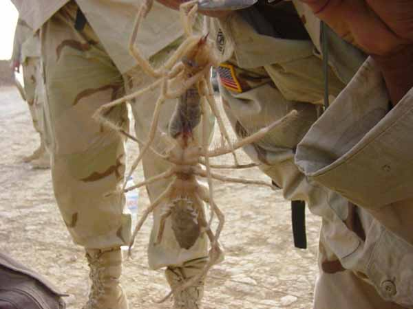 Camel Spiders in Iraq